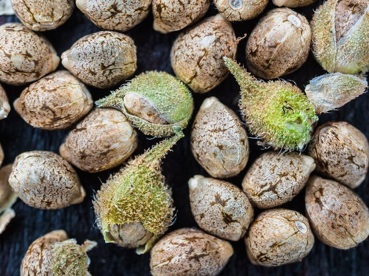 How to successfully germinate old cannabis seeds