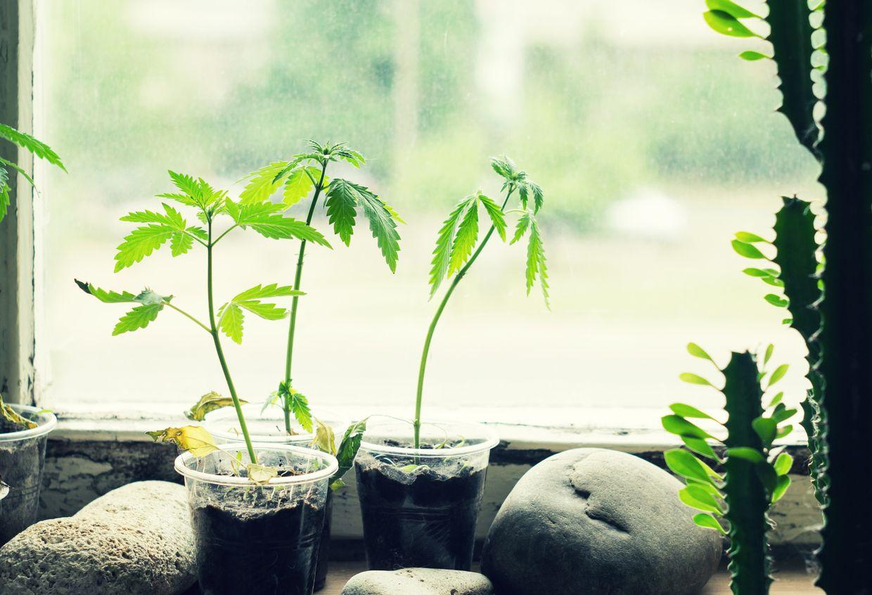 How to grow cannabis on a windowsill indoors