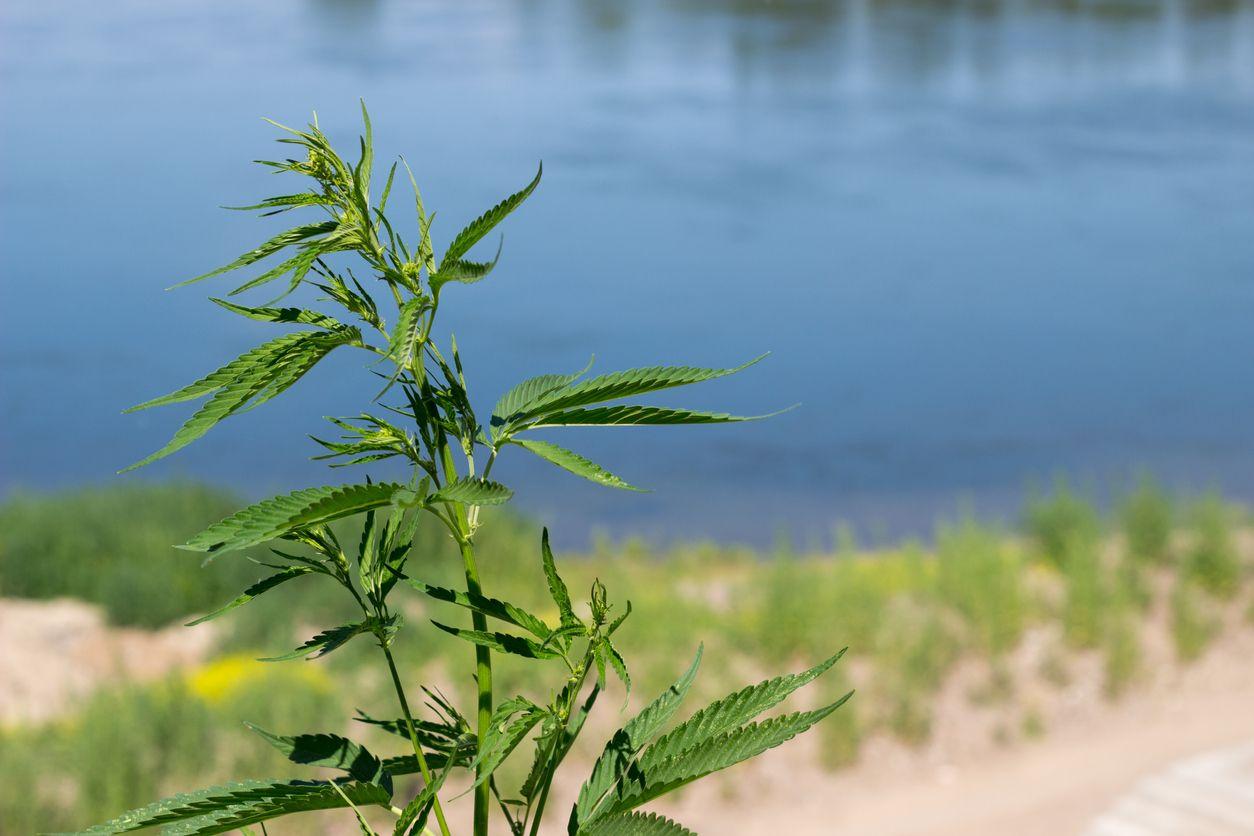 Blackmarket growers threaten forests by growing marijuana