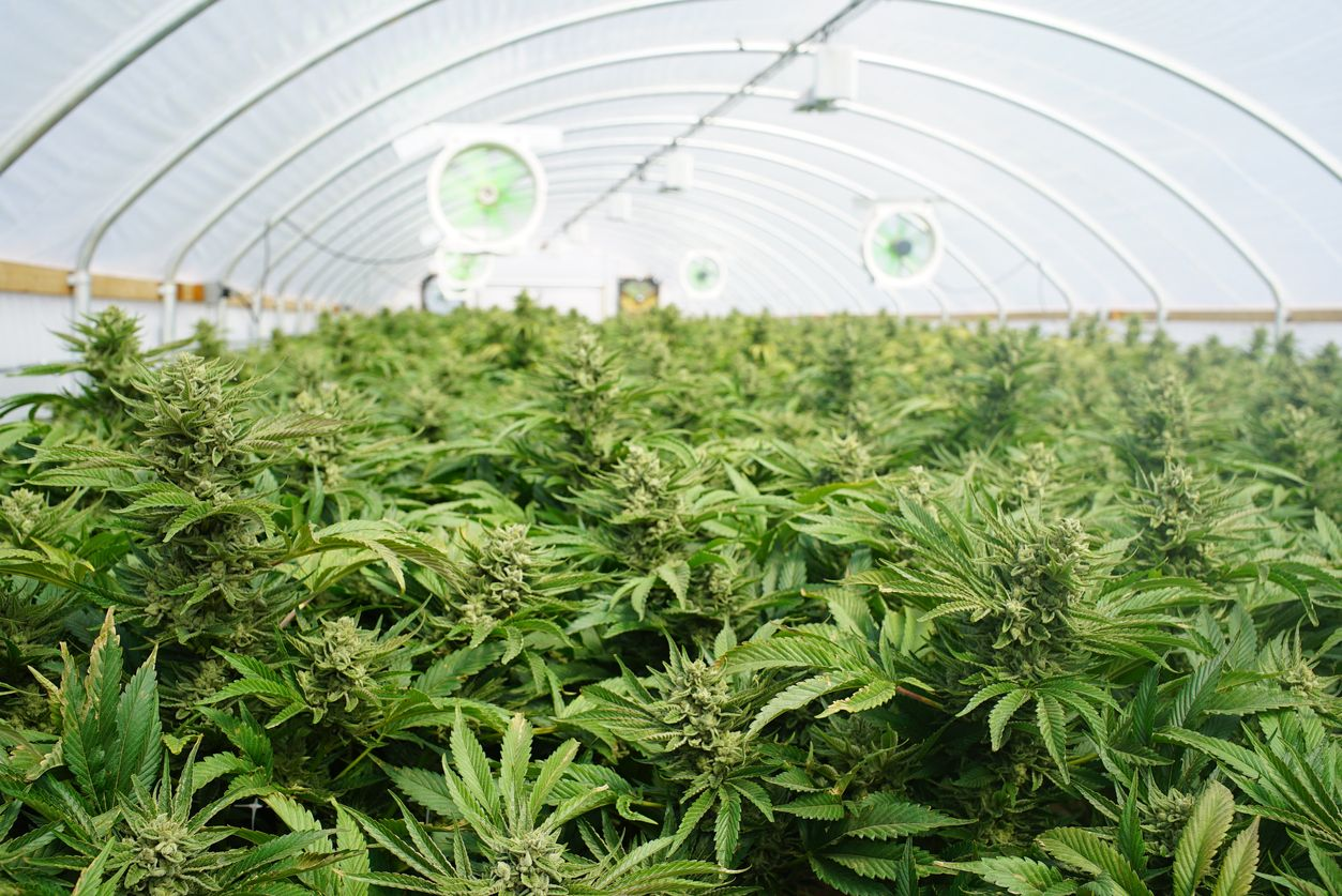 Are marijuana crops on the horizon