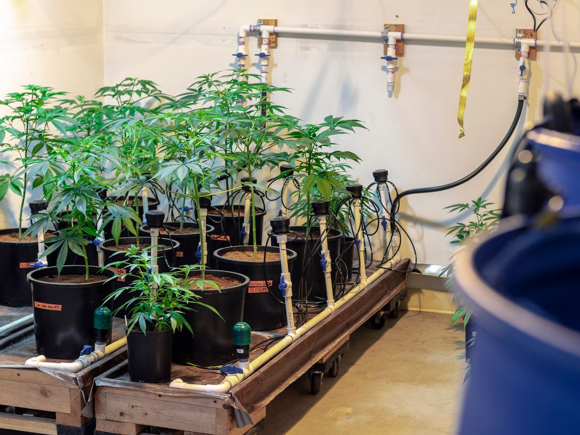 How to grow a healthy mother marijuana plant for cloning