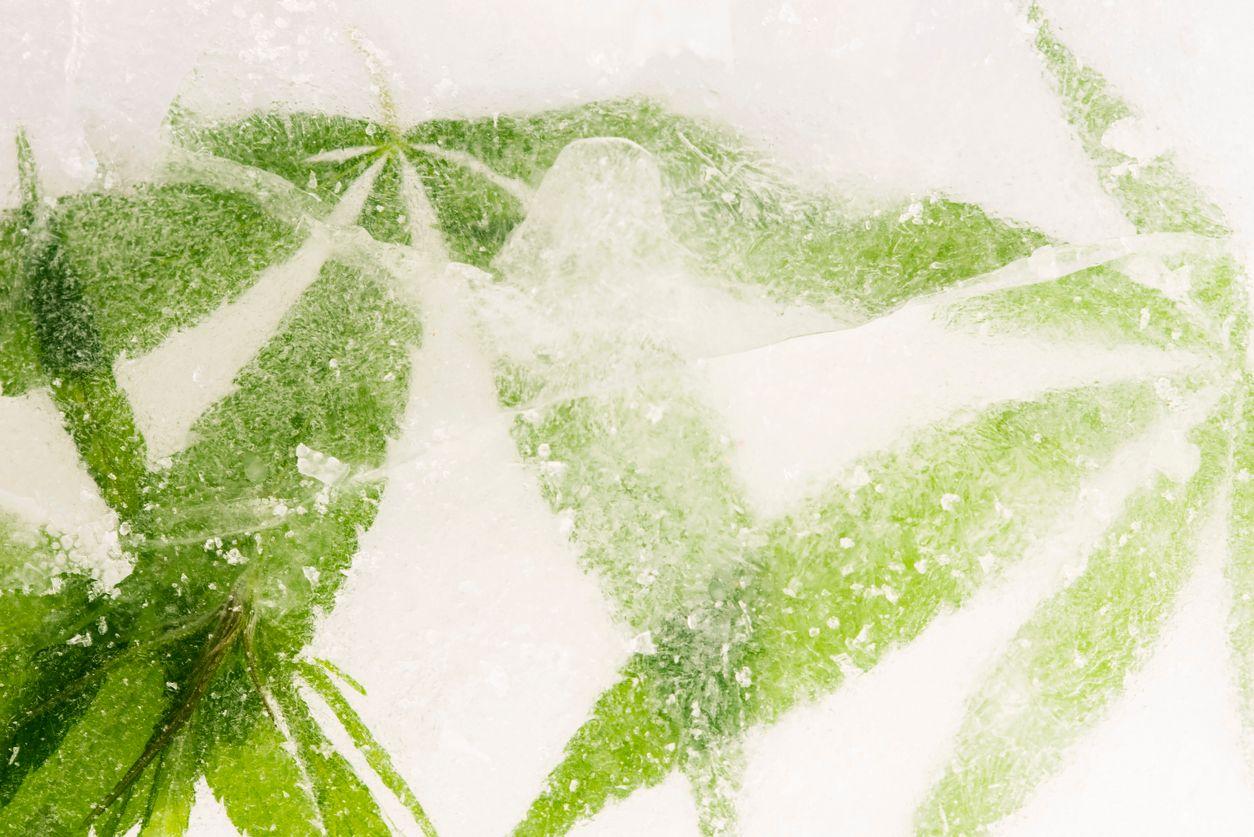 Should you freeze cannabis