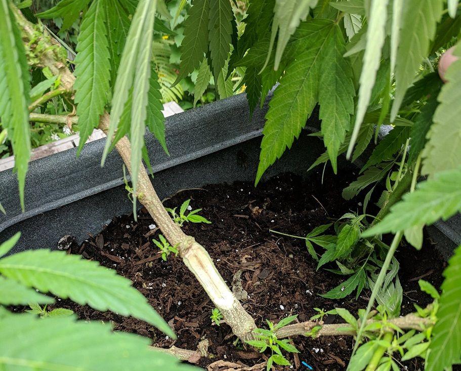 Fixing marijuana plant stems that have broken or bent
