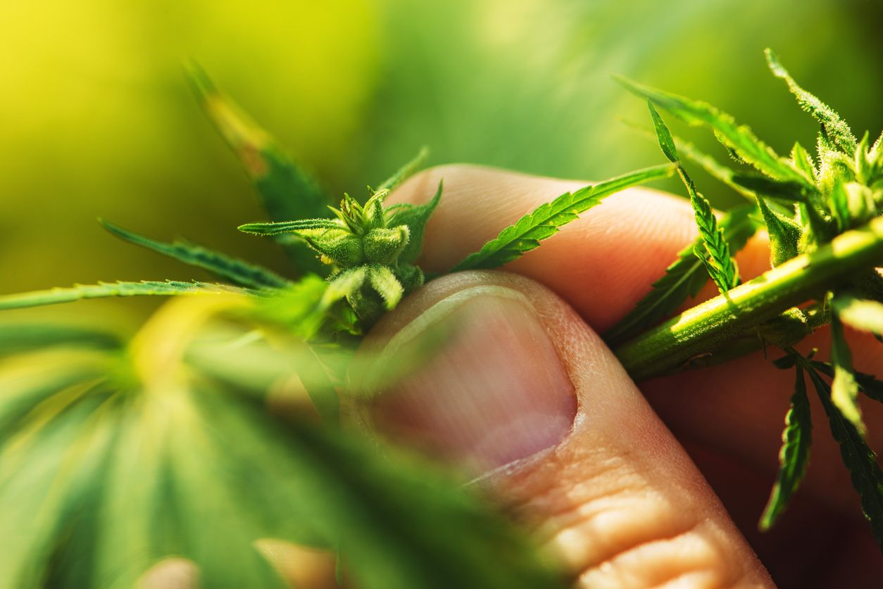 Is it possible to make a male cannabis plant female