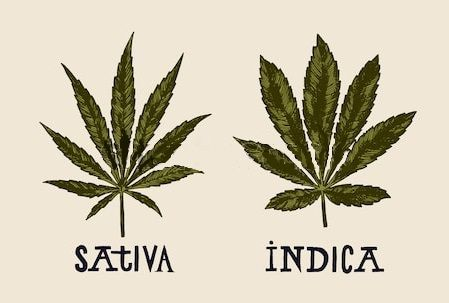 Indica versus sativa what type is best for you