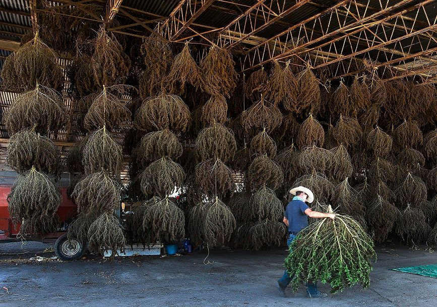 US finalizing rule to allow farmers to legally grow hemp