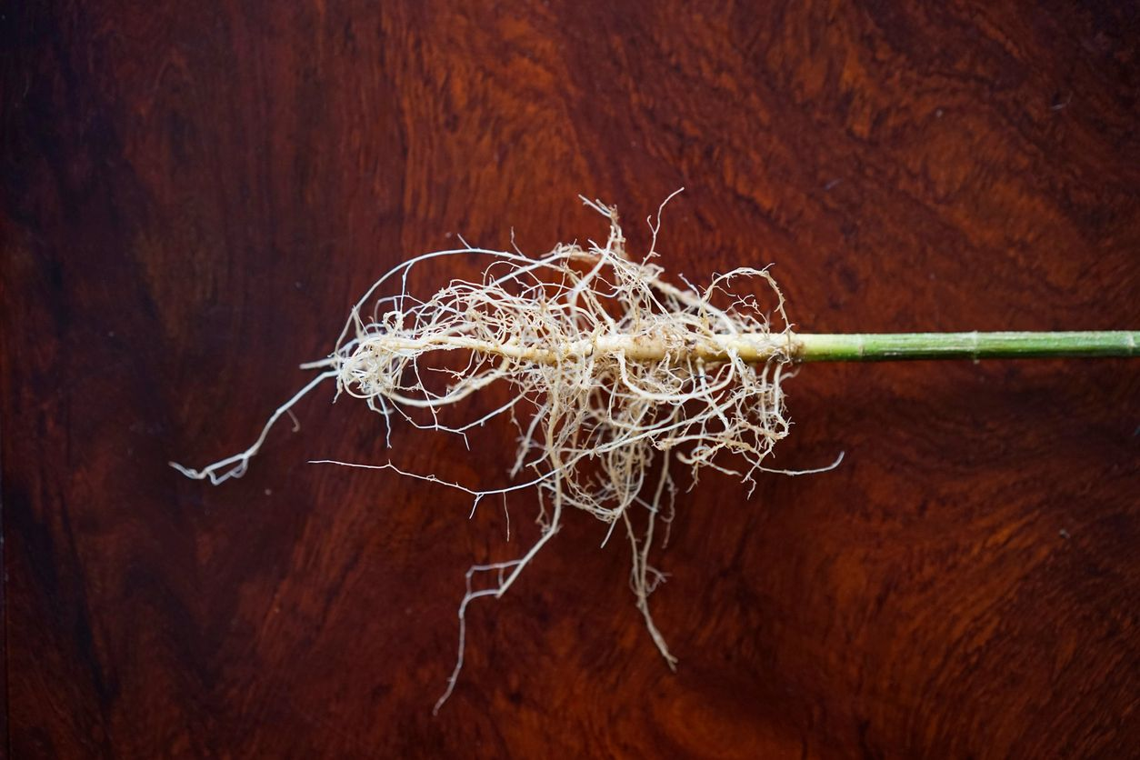 5 Neat ways to use cannabis roots