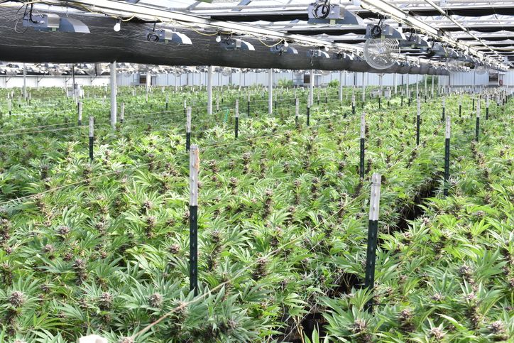 Canadian cannabis industry survivors wonder what the future will bring