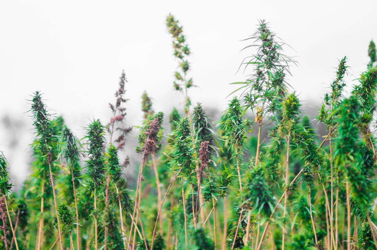 Fear surrounding hemp farming in the US reduces CBD supply