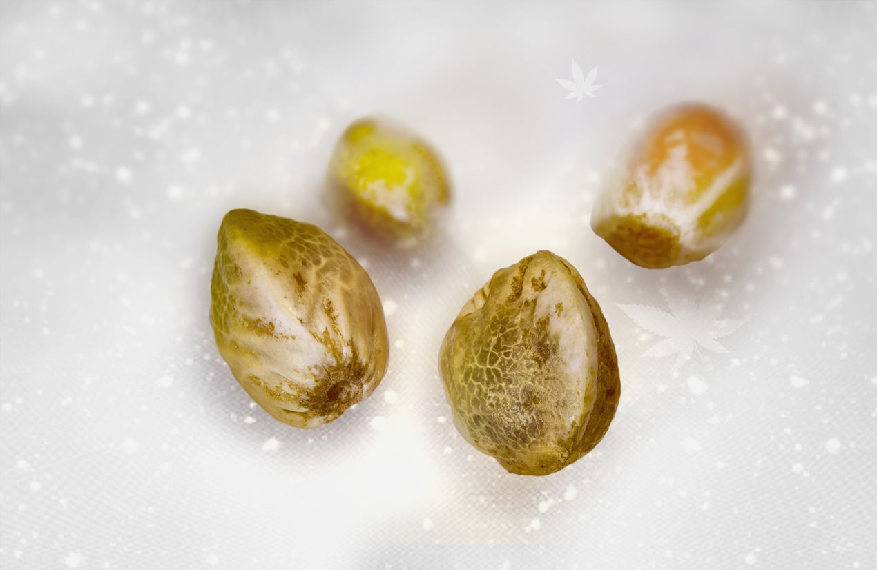 How to keep your cannabis seeds safe over the winter