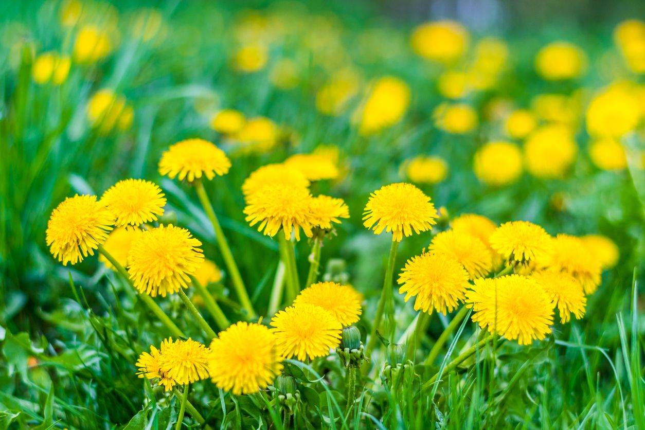 How to make jam with dandelions and cannabis