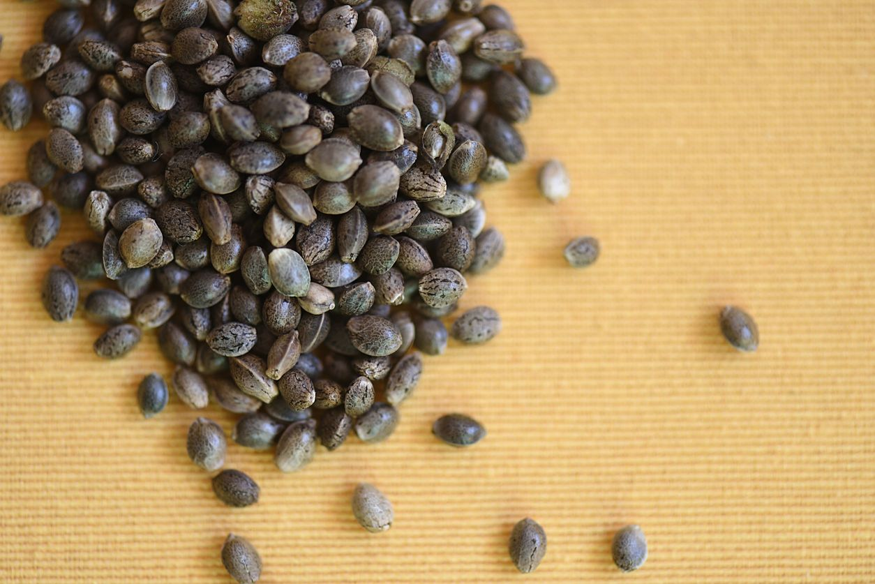 Is it safe to smoke cannabis seeds