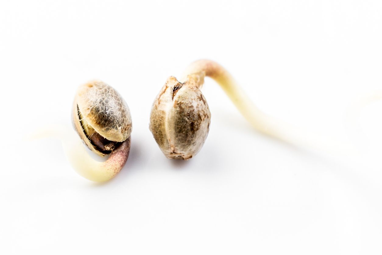 Is it too early to start germinating cannabis seeds