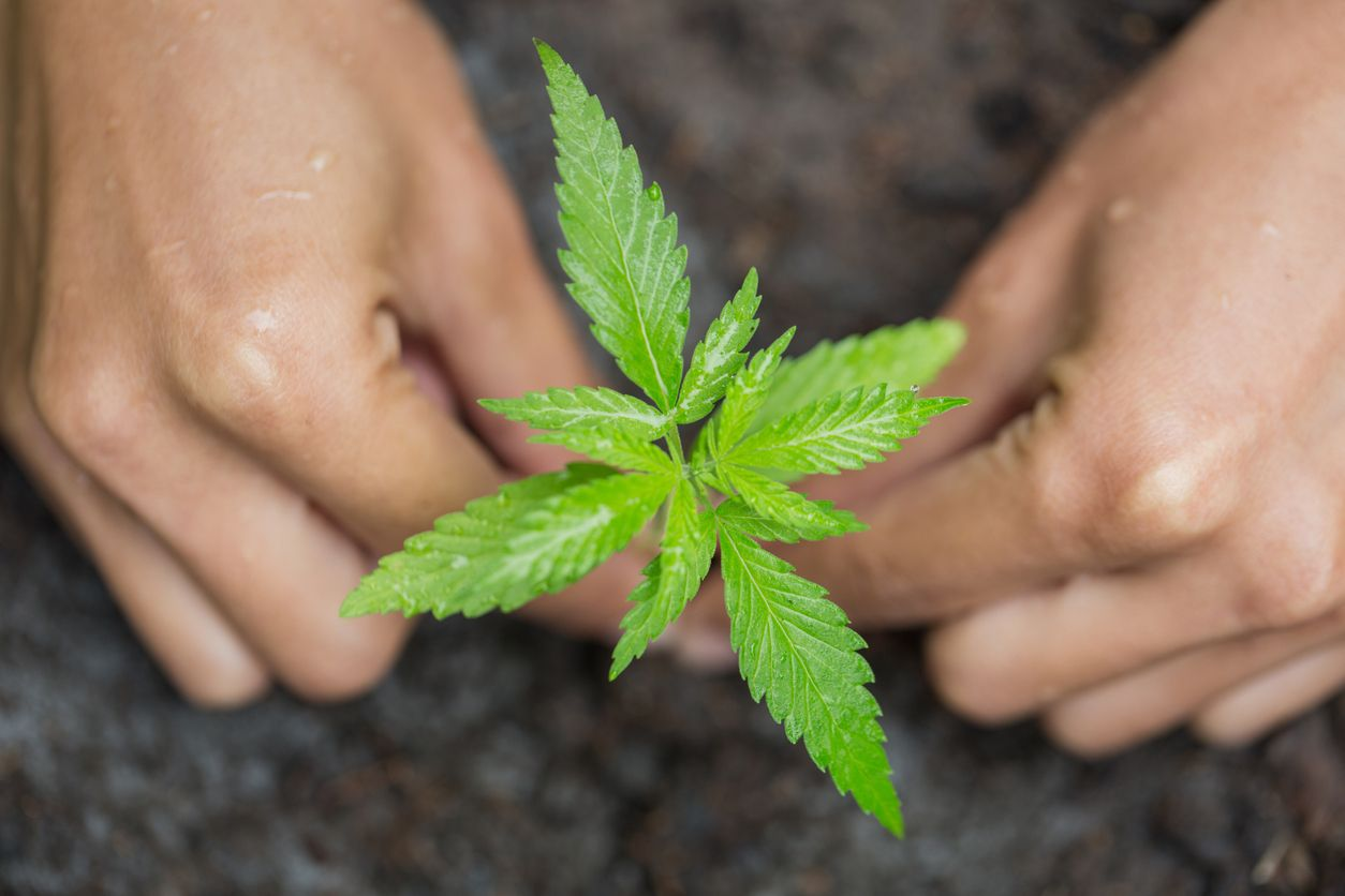 Cloning Weed A Beginners Guide to Cloning A Cannabis Plant