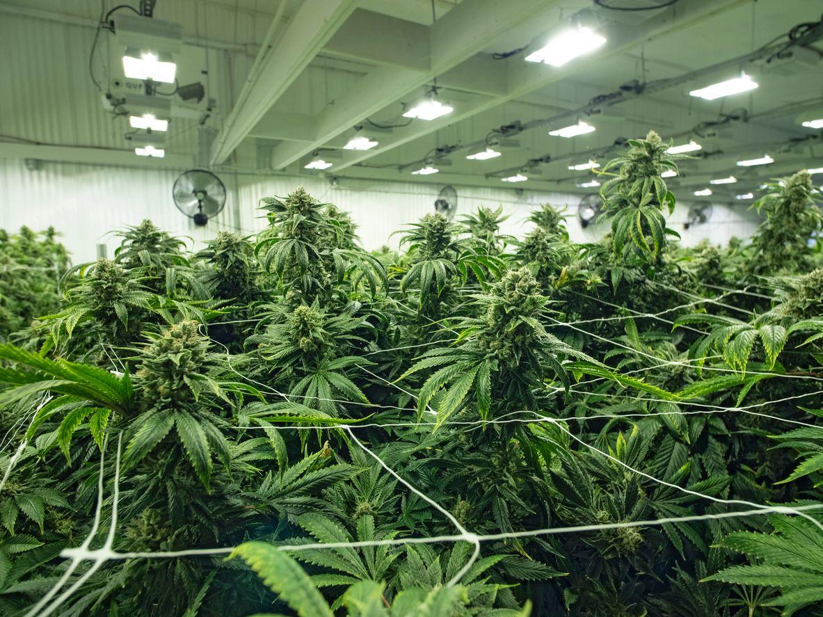 Advantages Of Choosing Marijuana