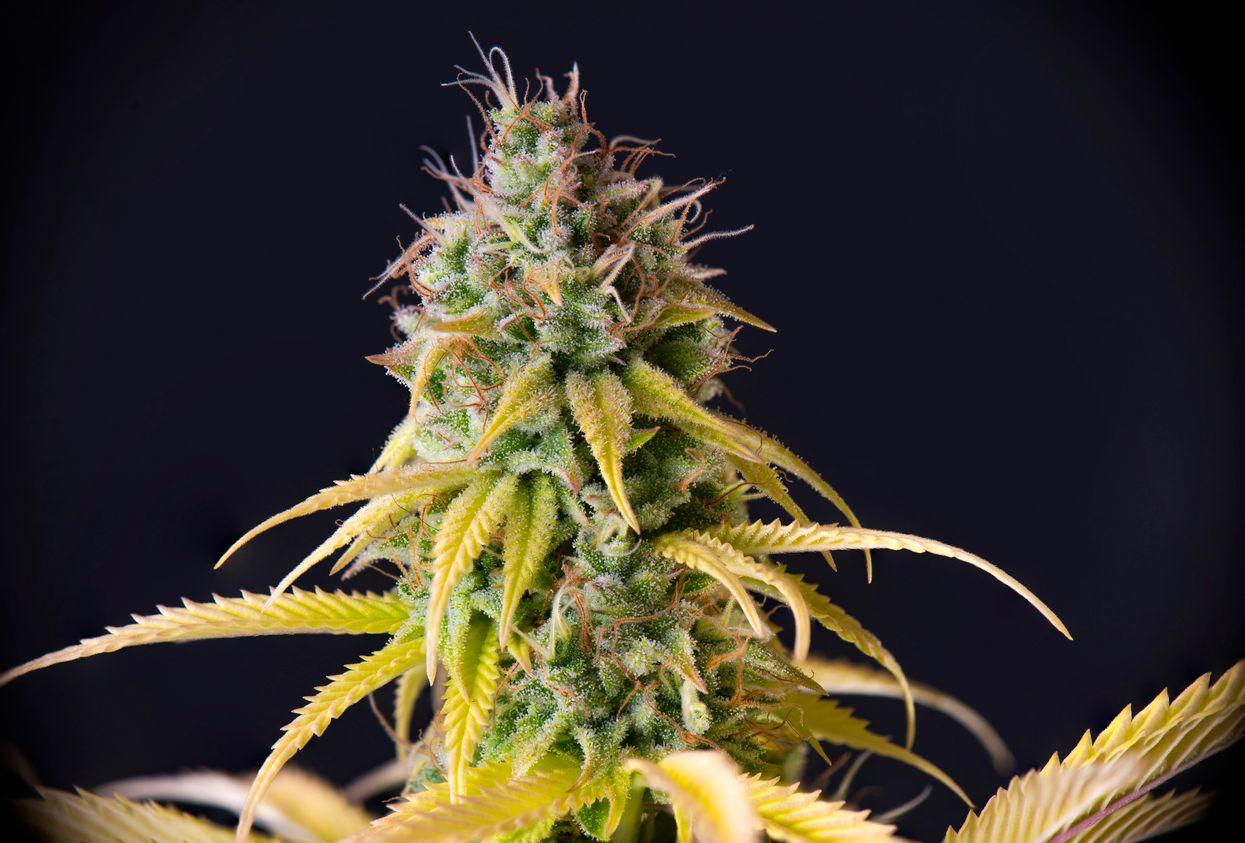Best Indica strains of 2019