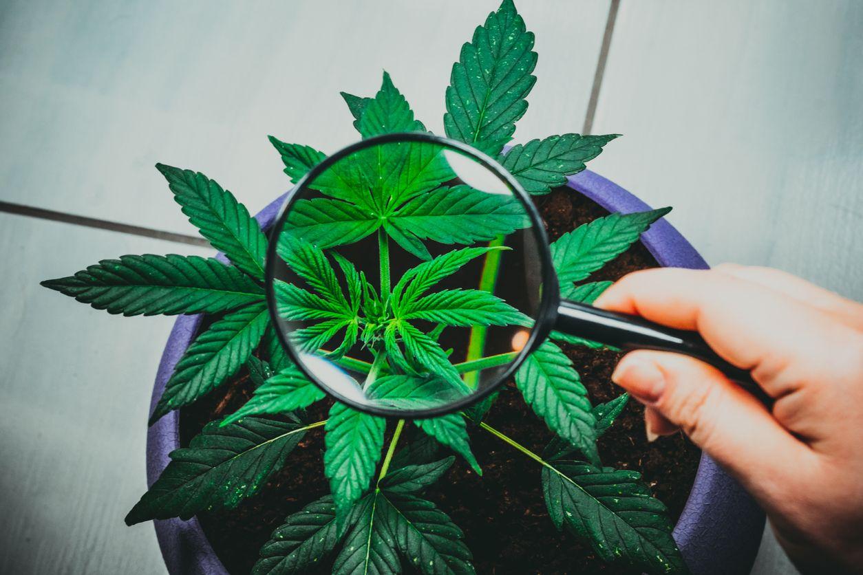 Weed Leaf Diagnosis