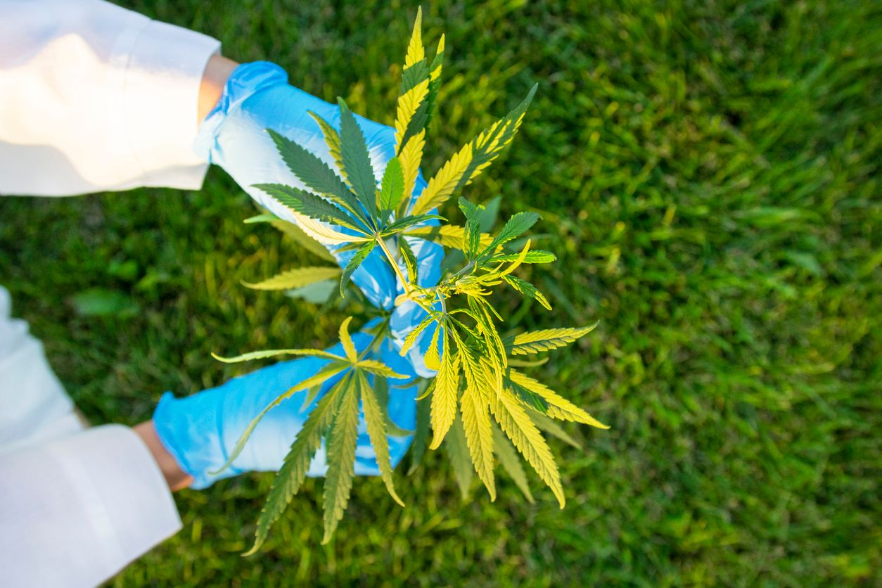 Biotech Institute owns the firstever cannabis DNA patent