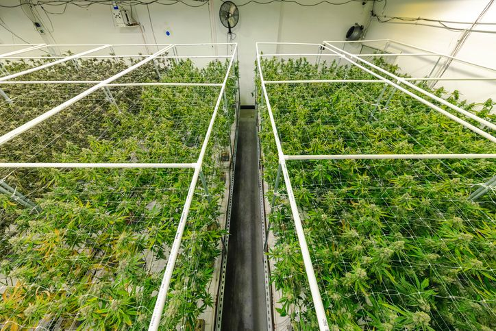 Cannabis companies who are taking a green approach