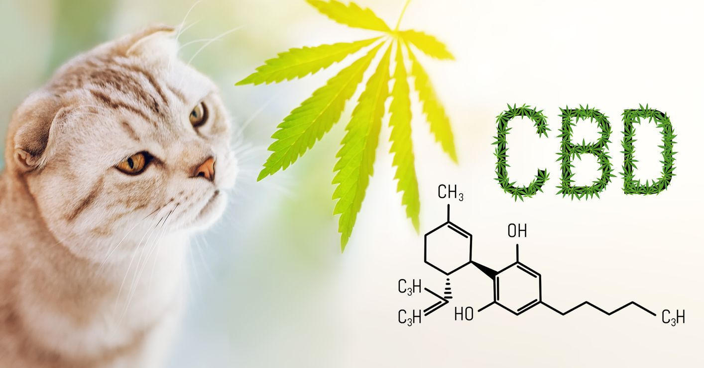 The Complete Guide to using CBD oil for Cats
