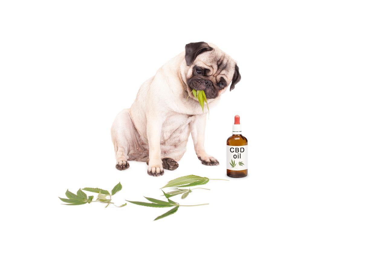Using CBD oil to treat anxiety in pets