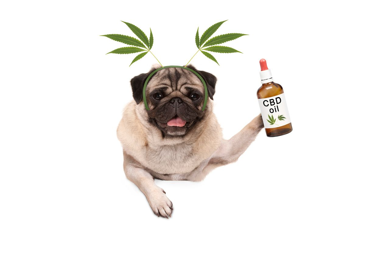 A guide to using CBD oil for pets  Cannabis Wiki