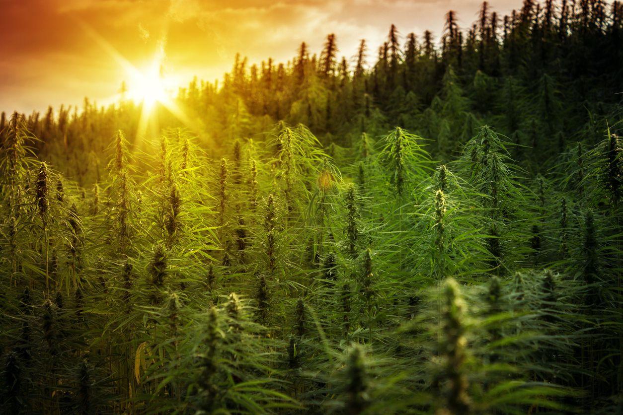 New York State has begun taking applications through its hemp program
