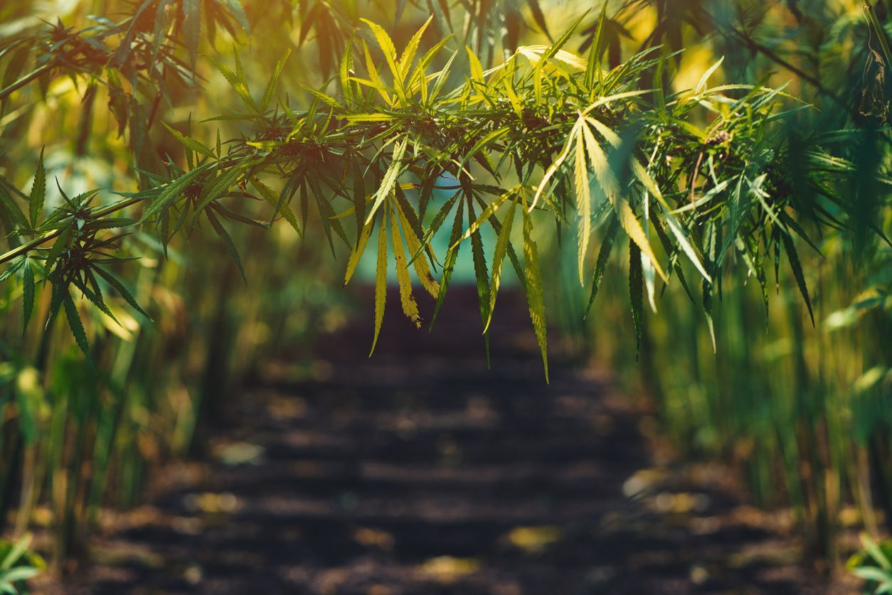 No increase to hemp THC limits in the US despite pleas from farmers