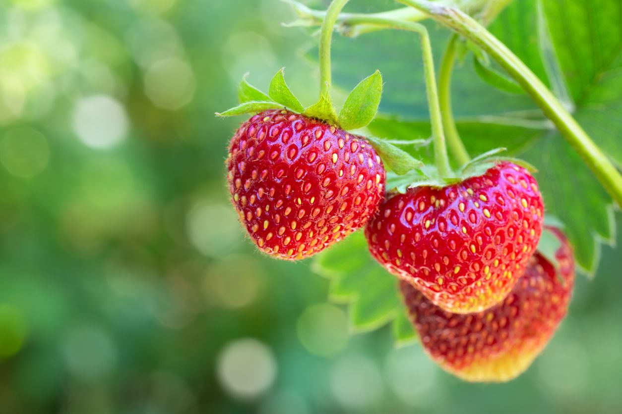Study Could CBD oil work to preserve your strawberries