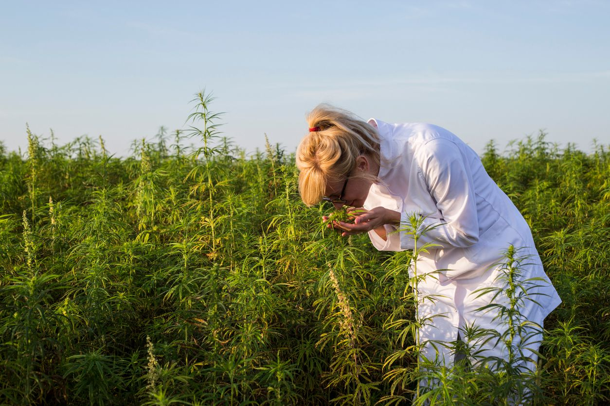 Study shows that cannabis smell alone should not warrant searches