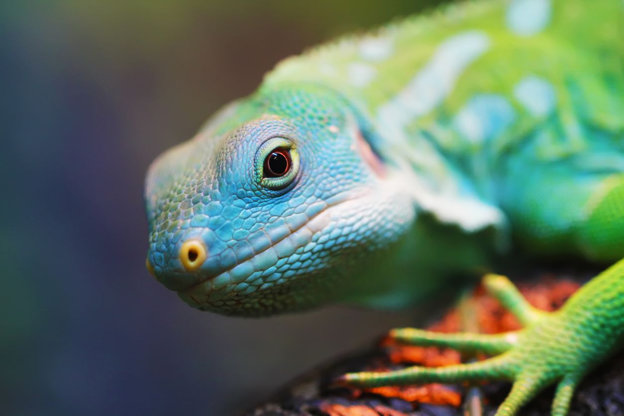 The benefits side effects and dosing of CBD for reptiles