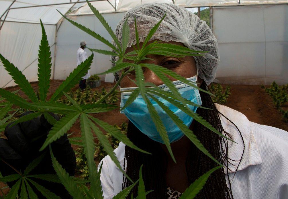 Africas black farmers fight to enter marijuana market