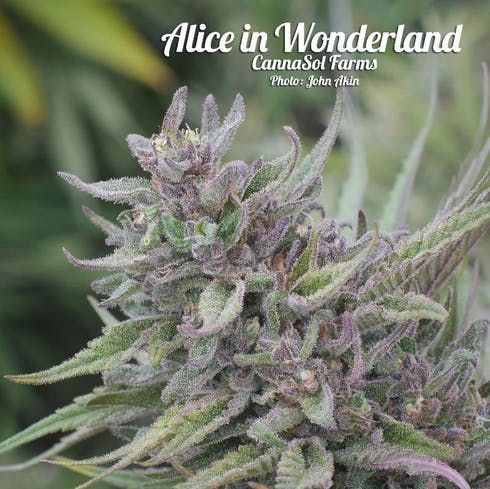 feature image Alice In Wonderland by Cannasol Farms