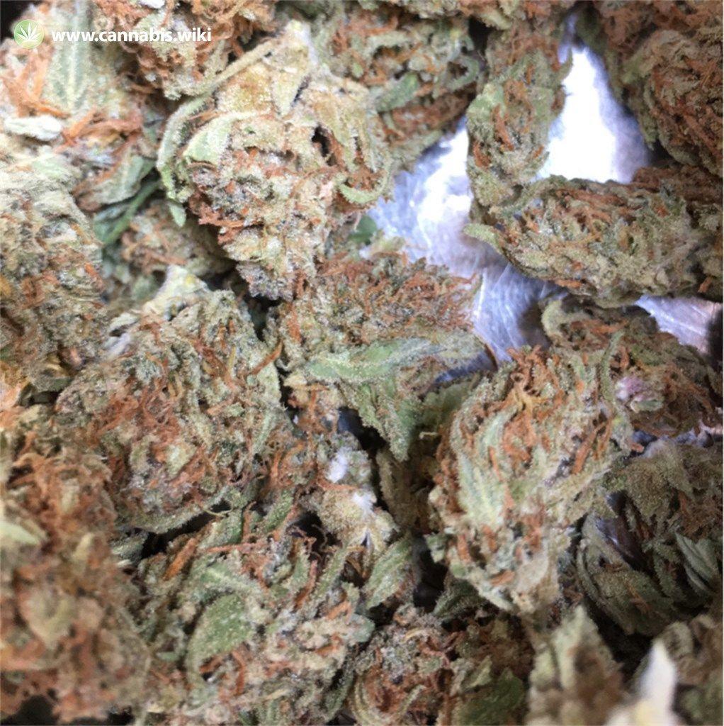 Cannabis Wiki - Strain GSC - Gsc - Hybrid