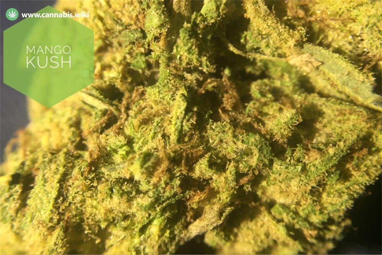 Cannabis Wiki - Strain Mango Kush - Mgk - Hybrid