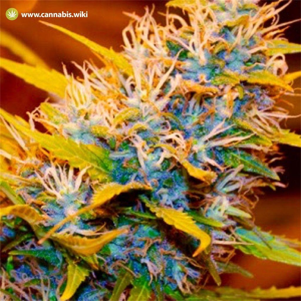Cannabis Wiki - Strain Aurora Borealis - Abo - Indica