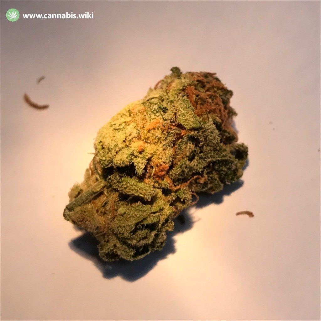 Cannabis Wiki - Strain Blue Steel - Bst - Indica