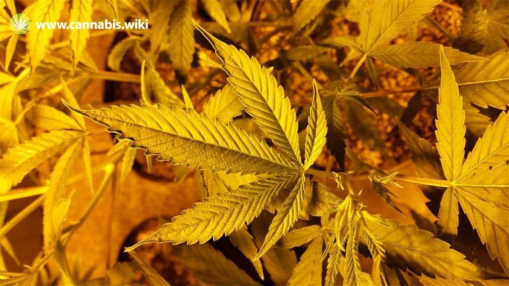 Cannabis Wiki - Strain Brains Damage - Bdg - Indica