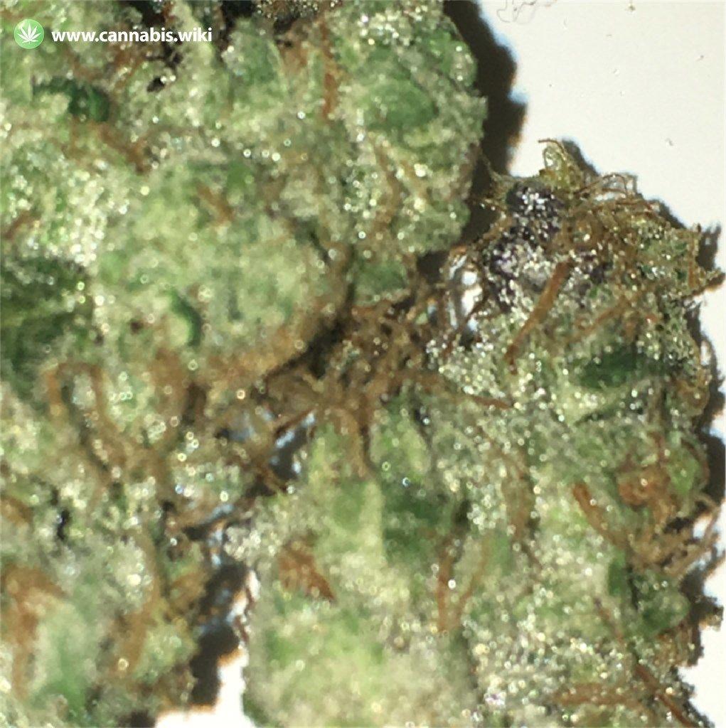 Cannabis Wiki - Strain Chem Scout - Chs - Indica
