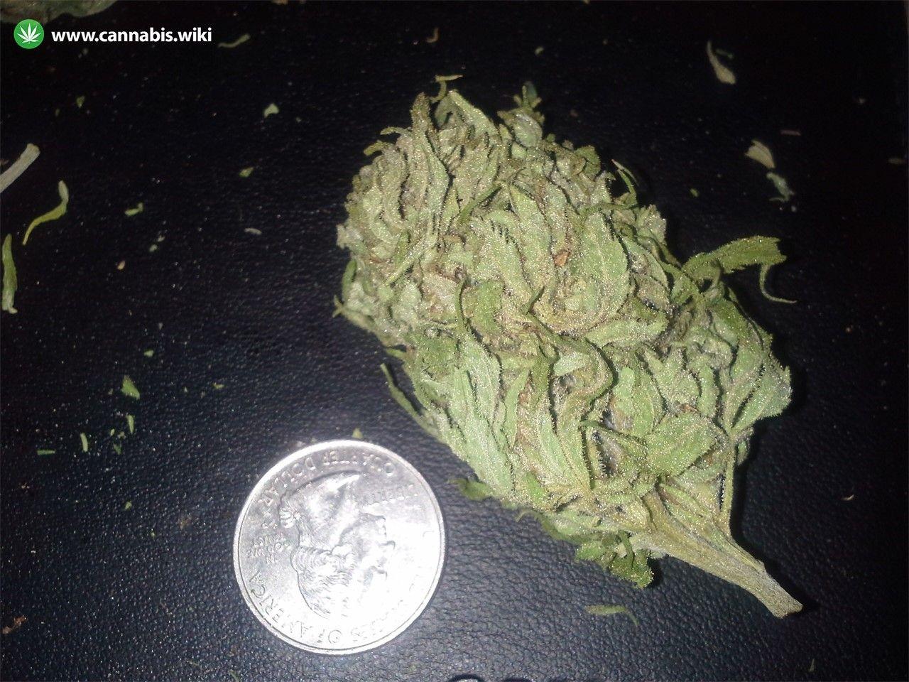 Cannabis Wiki - Strain China Yunnan - Chy - Indica