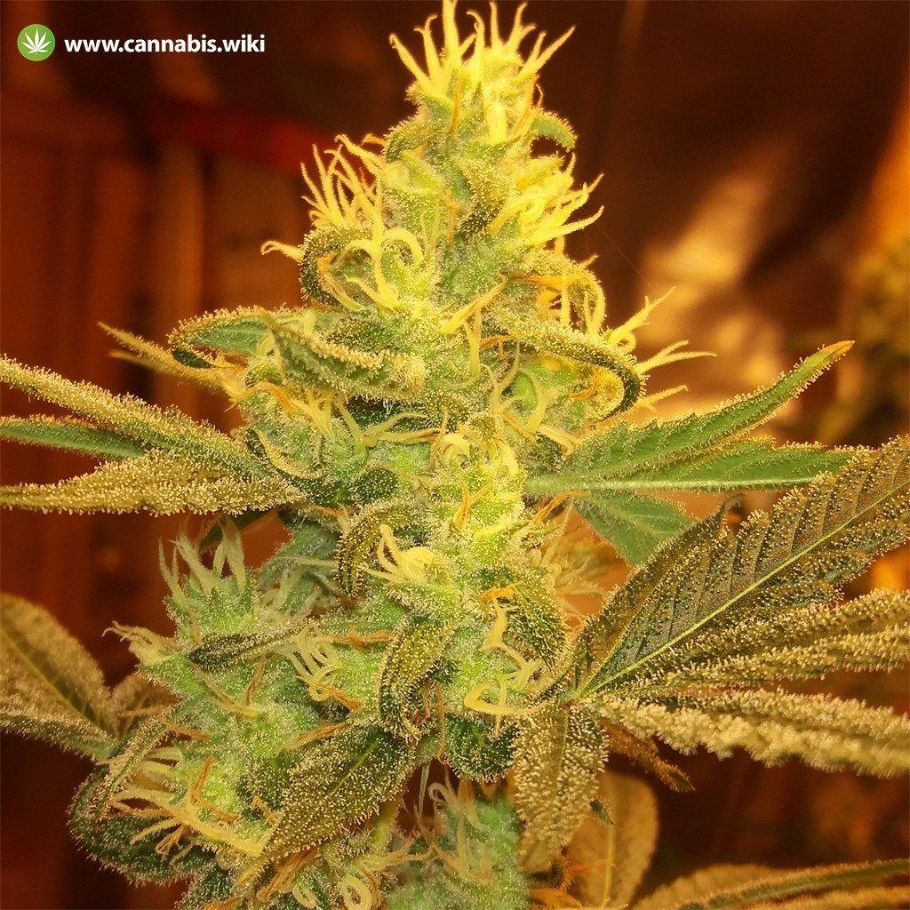 Cannabis Wiki - Strain Colorado Clementines - Cct - Indica