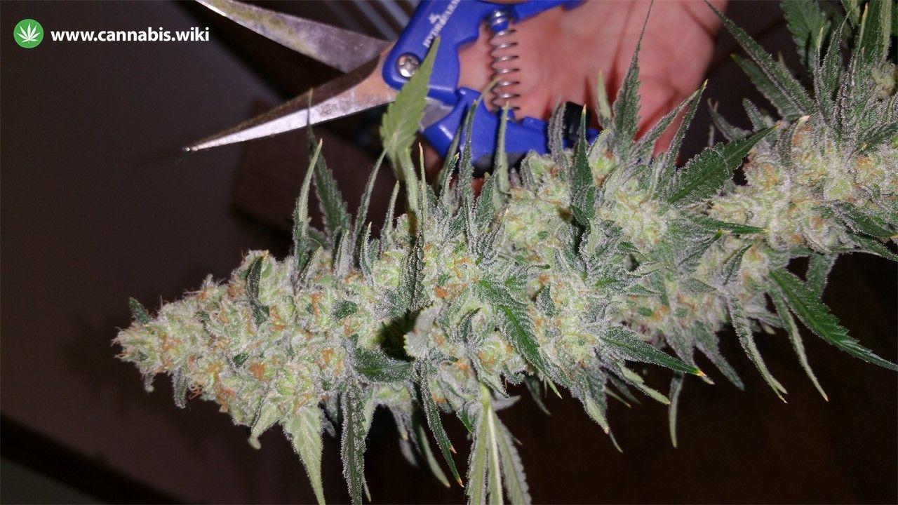 Cannabis Wiki - Strain Critical Sensi Star - Css - Indica