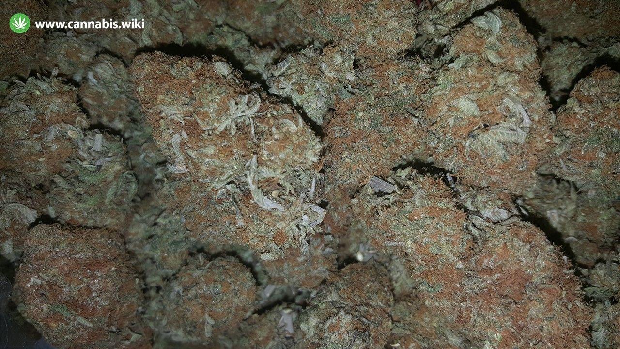 Cannabis Wiki - Strain Durga Mata - Dgm - Indica