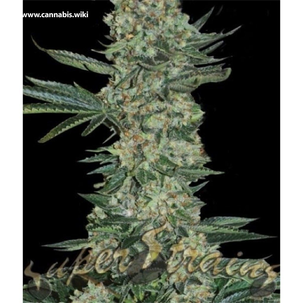 Cannabis Wiki - Strain Enemy of the State - Ets - Indica
