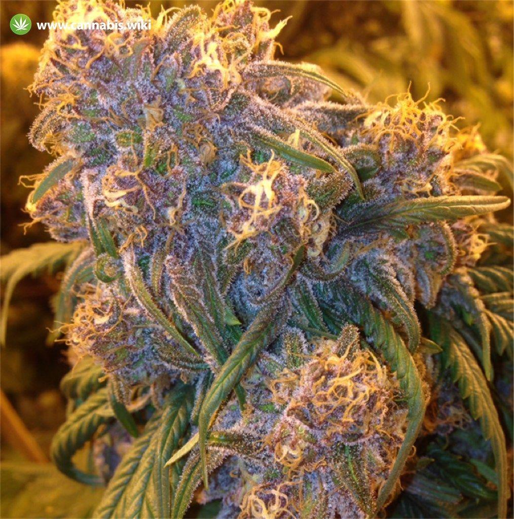 Cannabis Wiki - Strain Fat Purple - Fap - Indica