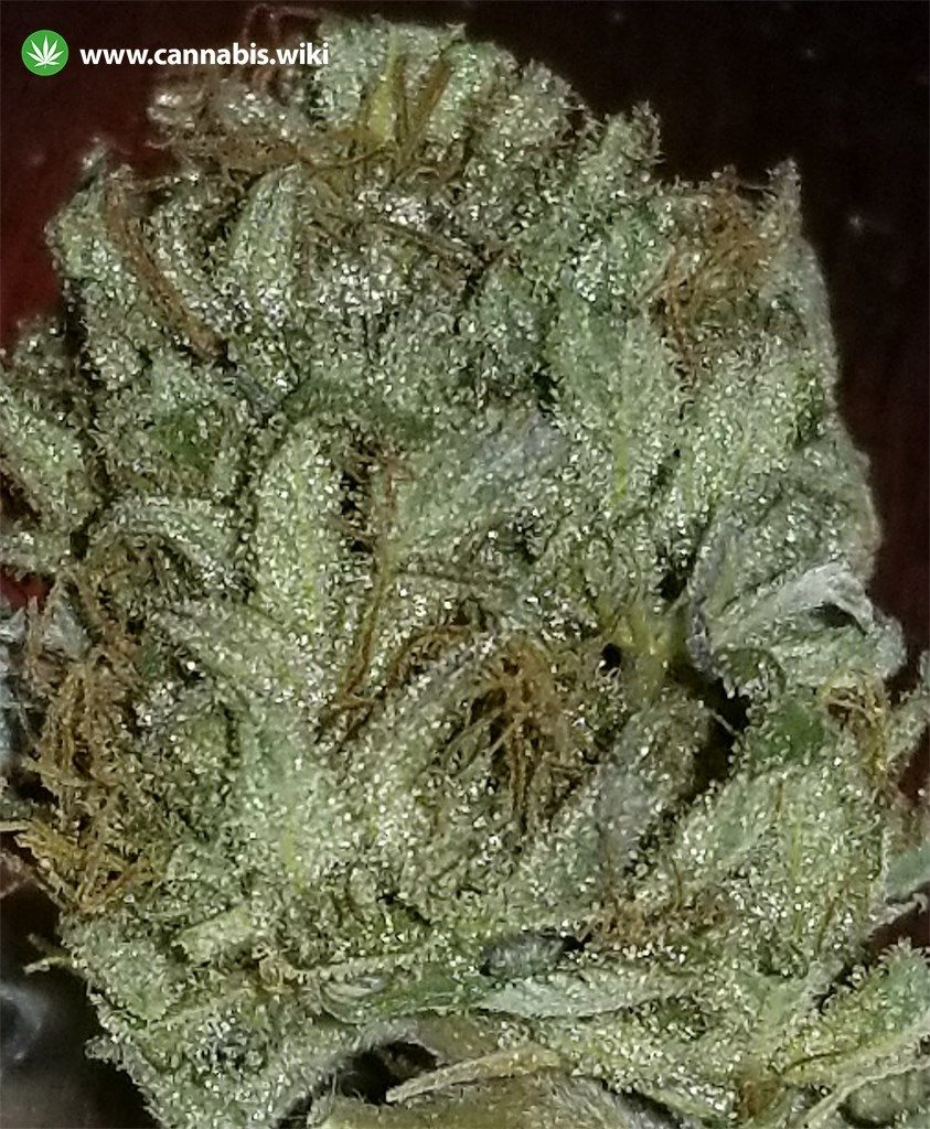 Cannabis Wiki - Strain Grape Ape - Ga - Indica
