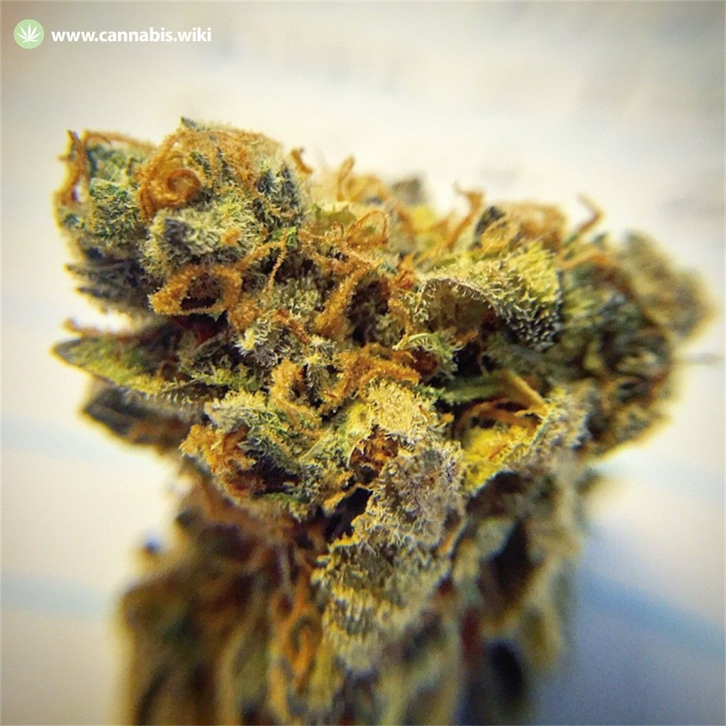 Cannabis Wiki - Strain Grimace - Gmc - Indica