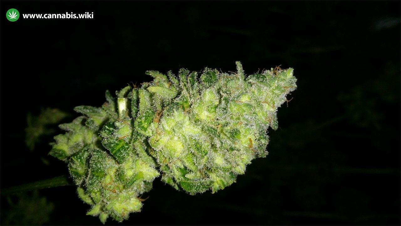 Cannabis Wiki - Strain Iced Widow - Iwd - Indica