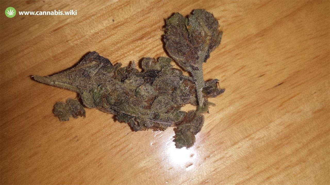 Cannabis Wiki - Strain Love Potion #9 - Lv9 - Indica