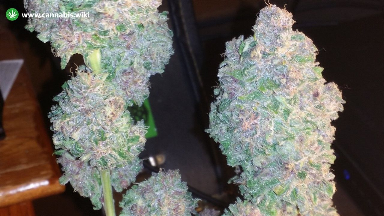 Cannabis Wiki - Strain Northern Berry - Nb - Indica